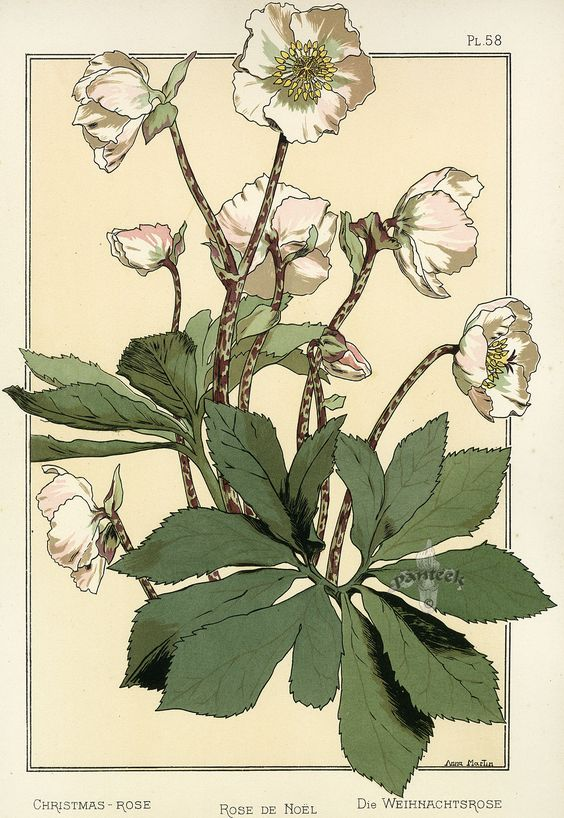 botanical : eugene grasset elleboro: