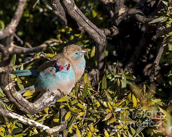 Red Cheeked Cordon Blue Finches by Steven Ralser