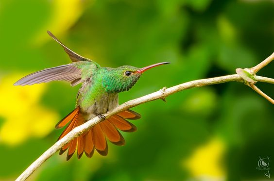 Rufous-tailed Hummingbird (Amazilia tzacatl) by Cyn Vargas on 500px
