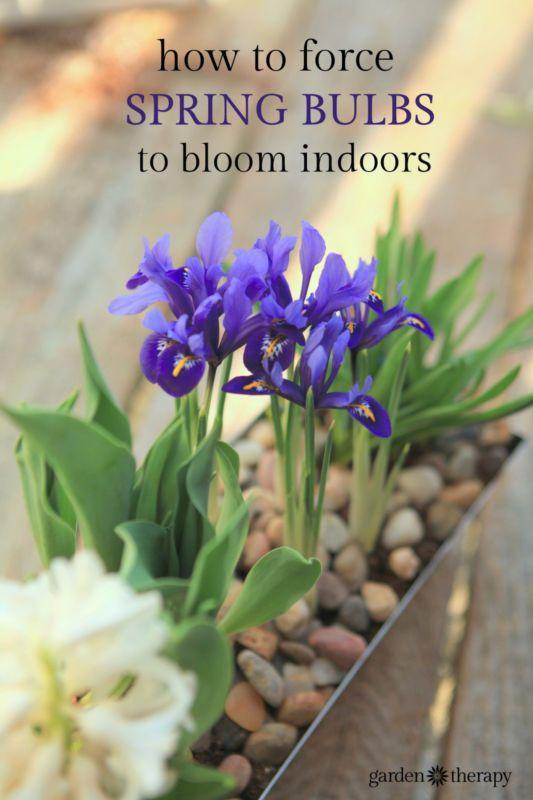 Start the spring garden indoors gardens spring and flower - Planting hyacinths indoors ...