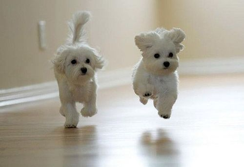 hopping, bouncing, cute fluffy-white puppies. let's see how many repins i get!! lol