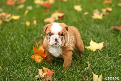 English Bulldog Puppy In Grass With Leaves Bulldog Englishbulldog Puppy Cuteanimals Dogs Leaves Autumn Support Me By Buy Bulldog Puppies Bulldog Dogs