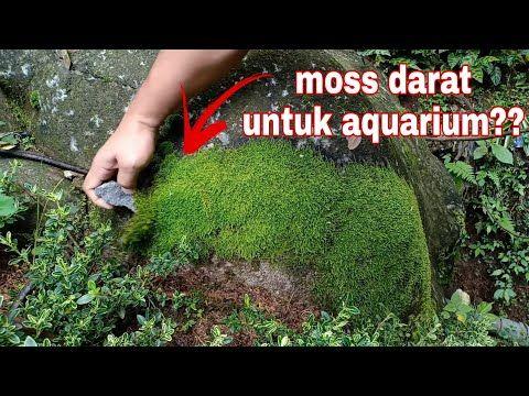 Ini Cara Sukses Adaptasi Moss Darat Menjadi Moss Air Untuk Aquascape Youtube Aquascaping Tanaman Air Adaptasi