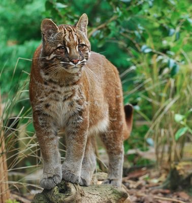 """The Asian Golden Cat or Temminck's Golden Cat  Some countries use the name """"firecat"""" for the animal due to its reddish-brown, and sometimes sand-gold, coloring. Officials are unsure just how many of these creatures remain in the wild."""