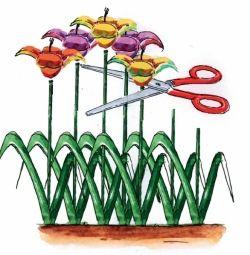 ogławianie tulipanów