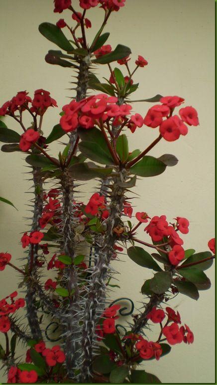 всех комнатный цветок с большими колючками фото сперма
