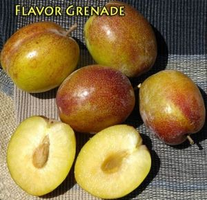 Flavor Grenade Pluot® Interspecific Plum | Dave Wilson Nursery Elongated green fruit with red blush. Crisp texture, explosive flavor. Taste test winner. Hangs on the tree for 4-6 weeks.
