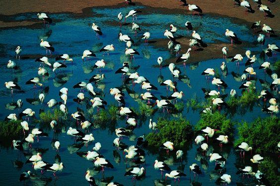 Storks in the Bordj Omar Driss oasis, Algeria
