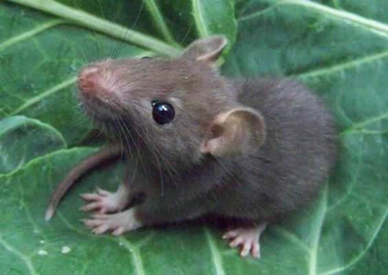 Cute little young rat on a leaf. <3 | Rats & Other Rodents ...