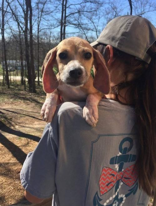 Cody Is An Adoptable Beagle Searching For A Forever Family Near