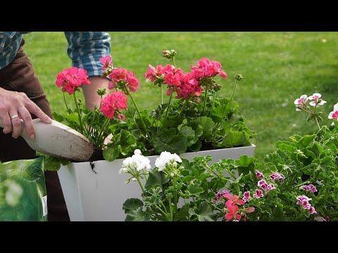 Pelargonie Jak Je Posadzic Zeby Byly Ozdoba Do Poznej Jesieni Youtube Plants Planting Flowers Water Plants