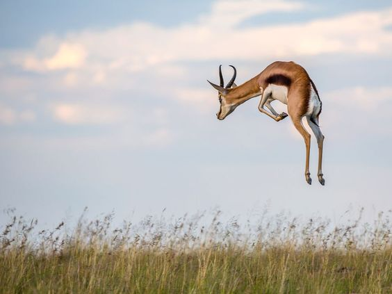 Picture of a pronking springbok in Mountain Zebra National Park, South Africa