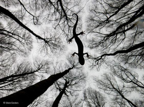 """Premier prix dans la catégorie """"reptiles et amphibiens"""", cette photo d'un triton crêté, immobile à la surface d'une rivière, a été prise par le photographe Edwin Giesbers à Gelderland aux Pays-Bas. La prise a été effectuée en-dessous du triton."""