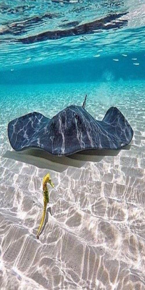 A ray & seahorse - Tropical Ocean - https://www.pinterest.com/lpasch/tropical-ocean/