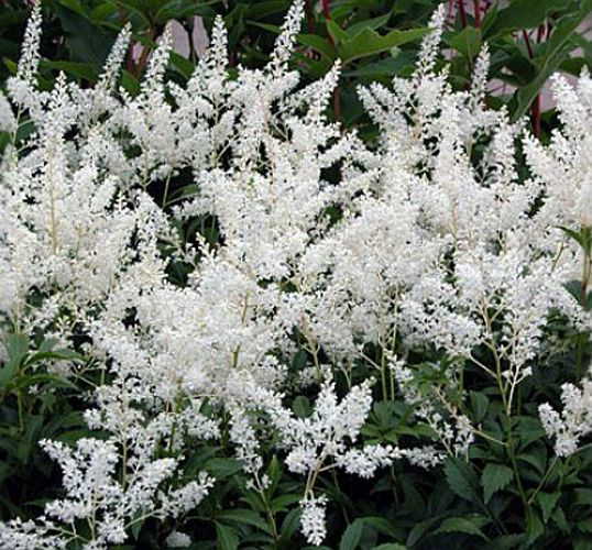 Astilbe Gladstone 12 Bare Root Divisions Shade Bed