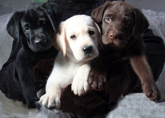 The Labrador Trio: Black Labrador - Golden Retriever Labrador - Chocolate Labrador.