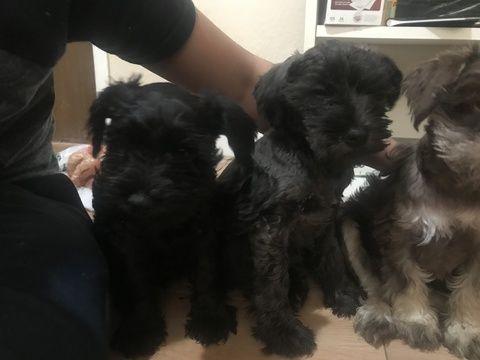Litter Of 4 Schnauzer Miniature Puppies For Sale In San Pablo Ca Adn 66064 On Puppyfinder Co Miniature Puppies Puppies For Sale Miniature Schnauzer Puppies