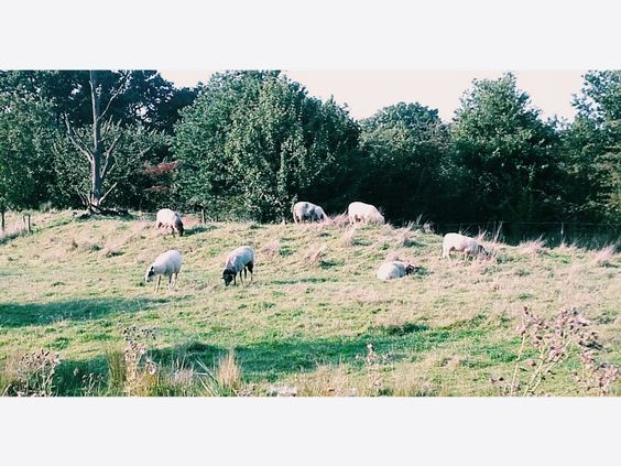 #sheeps #Netherlands