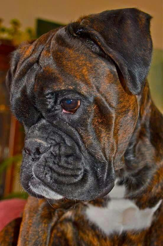 Pin By Julianna Arneson On Boxers I Mean The Dog Boxer Dogs Funny Boxer Dogs Boxer Puppies