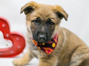 Dogs Puppies For Sale In Wichita Kansas Petland Wichita Pet