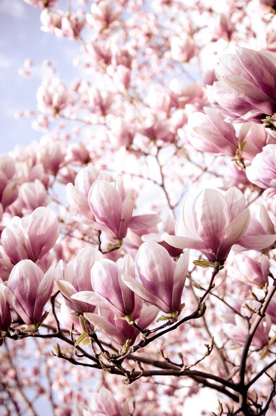 I love magnolia trees so much, I fell in love with them in Dublin many years ago but i haven't been able to grow one in Leitrim : /  Need a giant pot!