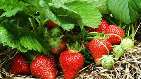 Albion Strawberry Monrovia Albion Strawberry Growing Organic Strawberries Growing Strawberries Strawberry Plants