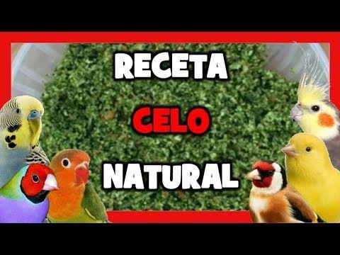 Receta Para Celo Natural Trucos Para Aumentar El Celo Y Criar Canarios Remedios Naturales Youtube Canarios Periquitos De Amor Celo