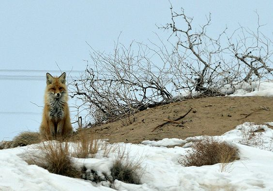Week in wildlife: CHINA-XINJIANG-GURBANTUNGGUT DESERT-OIL WORKER-CORSAC FOX (CN)