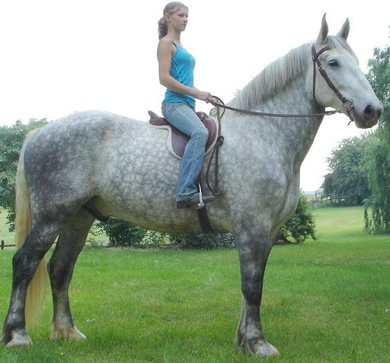 beautiful dapple gray Percheron draft horse. This breed of horse is widely used by the Amish for pulling wagons and plows.