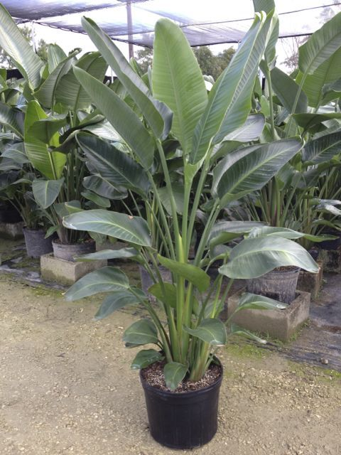 This Article Will Explain Bird Of Paradise Plant Care