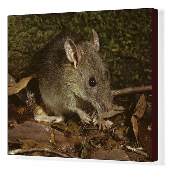 Print Of Bush Rat Rattus Fuscipes Coracius In 2020 Bush Rat