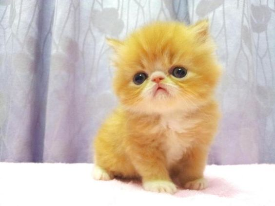 Yellow persian cat for sale