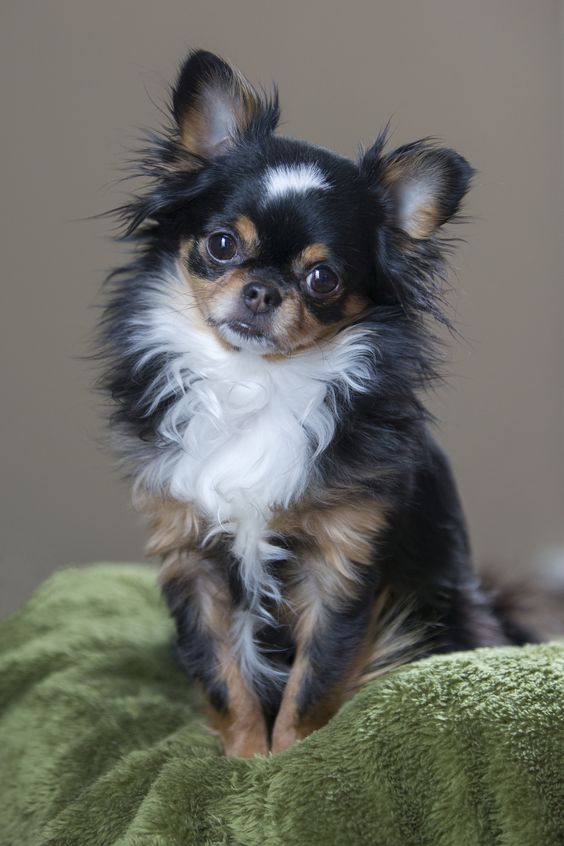 Chihuahuas, Long haired chihuahua and Dogs on Pinterest