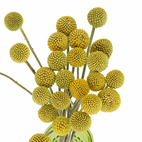 Craspedia Billy Balls Yellow Flower Fiftyflowers Com Yellow Flowers Ranunculus Flowers Flowers