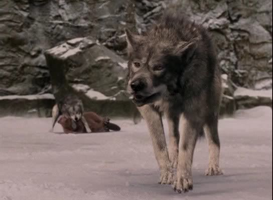 Narnia Beavers And Wolves On Pinterest