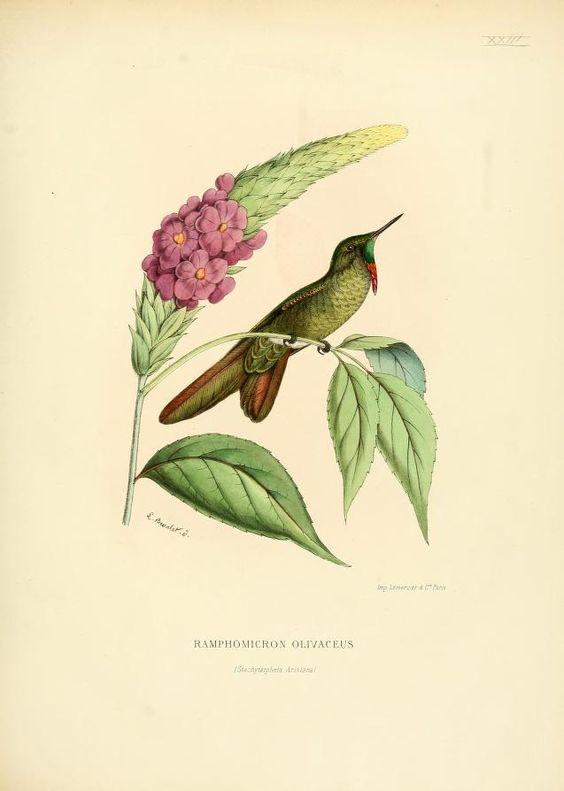 Olivaceous thornbill, South America. Histoire naturelle des oiseaux-mouches, ou, Colibris constituant la famille des trochilidés, Martial Étienn Mulsant, 1874.