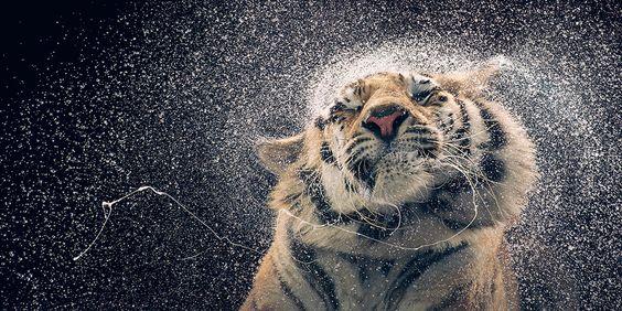 Una tigre del bengala, 2012. - (Tim Flach)
