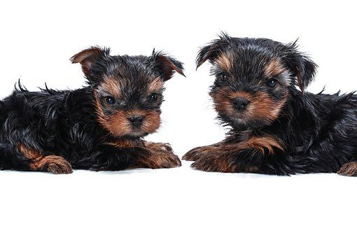 Arizona Teacup Yorkies In 2020 Teacup Yorkie Puppy Yorkie Puppy Yorkie