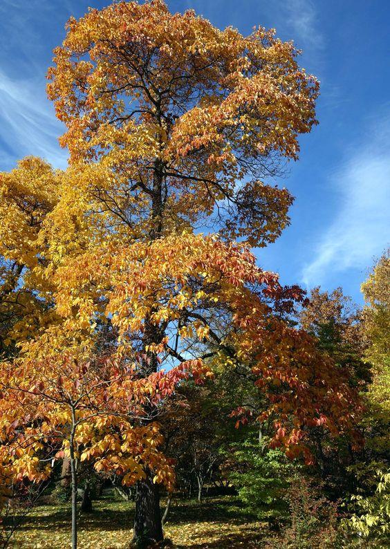 Malerische Baumfiguren: der Fenchelholzbaum (Sassafras albidum ).