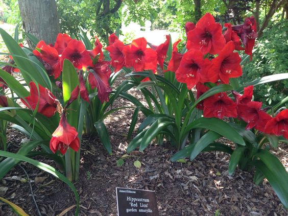 Hippeastrum 39 red lion 39 is a fierce red garden amaryllis for Amaryllis rose