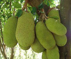 A jaca é um fruta grande e pesada, possui um aroma forte e delicioso.