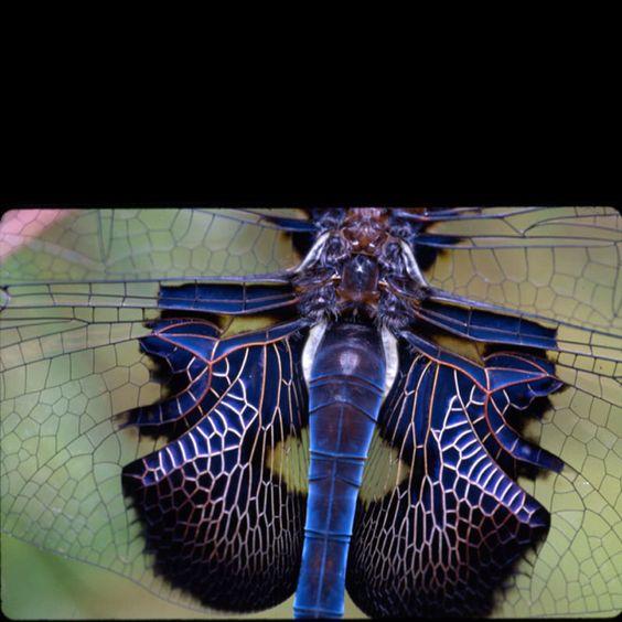 Saddlebag Dragonfly