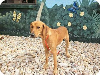 #FLORIDA - Labrador Retriever Mix. Meet LUCY a Dog for Adoption - act QUICKLY to #adopt / #rescue her - pets are held for only a short time at POLK COUNTY ANIMAL SERVICES   7115 de Castro Rd    #WinterHaven FL 33880   MChambers@polksheriff.org PH 863-499-2600