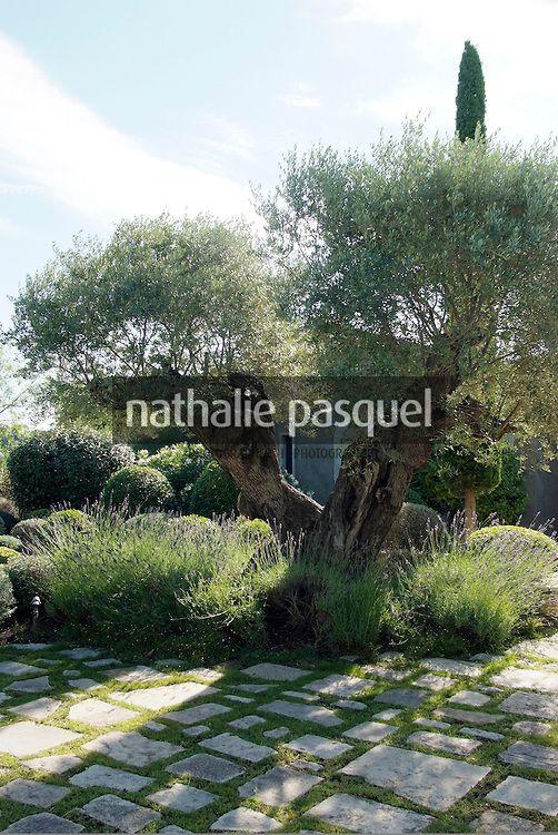 Olea europaea (olivier), Jardin mediterraneen. Paysagiste : Fanny ...