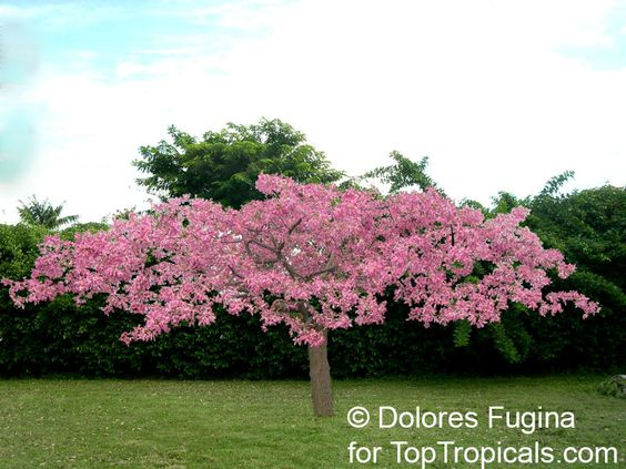 Ceiba hybrid pink princess is a dwarf tree 8 12 ft tall for Dwarf trees for small gardens