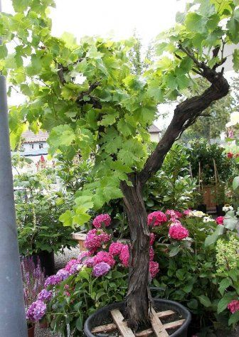 Absolut Winterharte Kubelpflanzen Erprobte Auswahl Pflegeleicht Kubelpflanzen Terrassenpflanzen Kubelpflanzen Winterhart