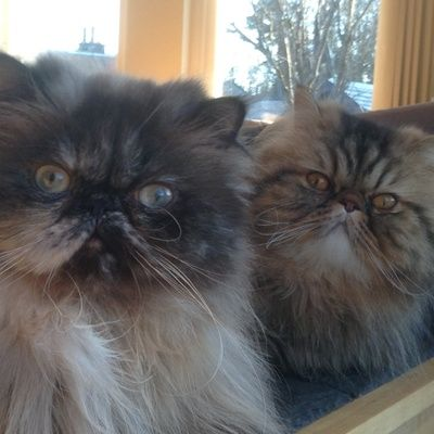 Reliable cat loving sitter required for pampered Persians  Location: Biggar, United Kingdom  Dates: 28 July 2016 and 10 Aug. 2016
