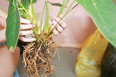 Anturio-Anthurium-andreanum