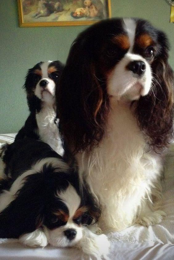 cavalier mom & sweet puppies