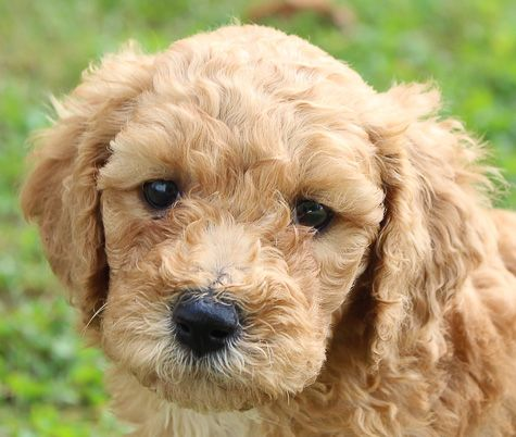 Meet Macy Labradoodle Puppies For Sale Near Me Woodburn Indiana Find Cute Labradoodle Labradoodle Puppies For Sale Labradoodle Puppy Labradoodle Breeders